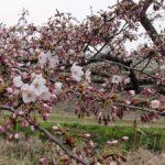 H300430 桜2