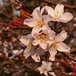 Sakura20180427-04