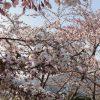 H300501桜1