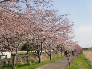 H300501桜2