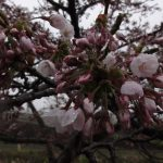 R10501 桜