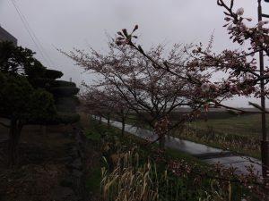 R10501 桜2