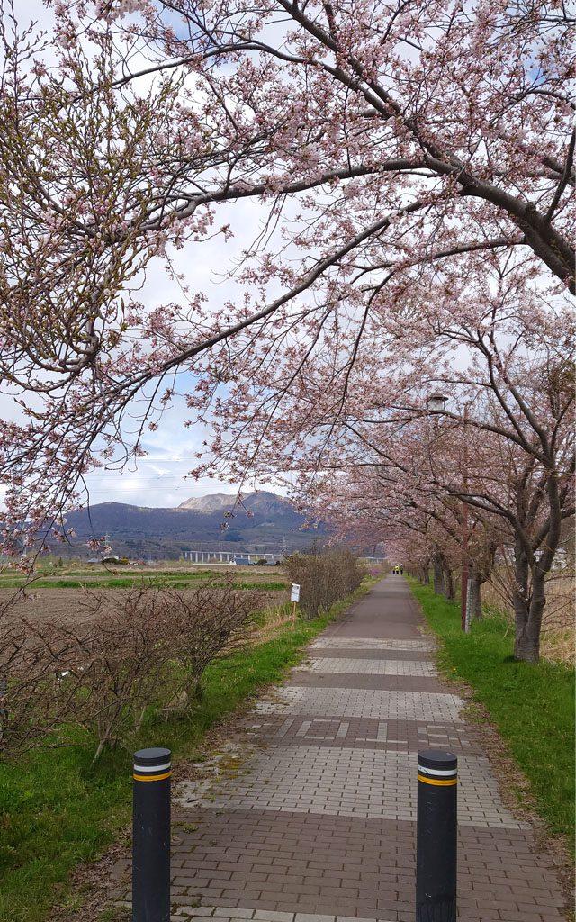 20210502桜3